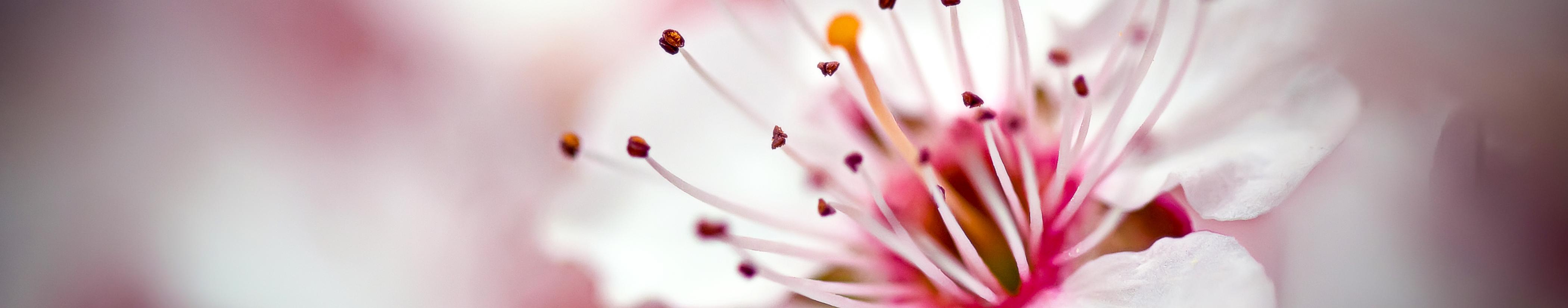 wild cherry blossom rice buff